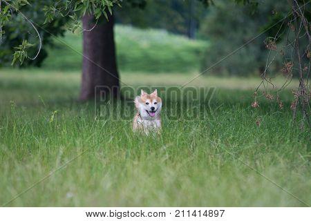 Red Happy Shiba Inu Running On Grass