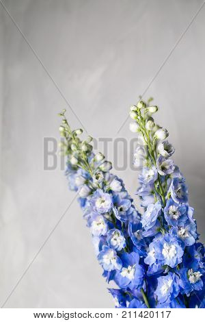 Blue delphinium flower with green leaves on light gray background. copy spae