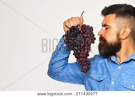 Viticulture And Gardening Concept. Man With Beard Holds Black Grapes