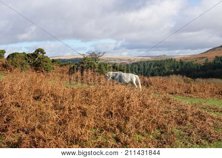 Dartmoor Pony looking for food in the Autumn