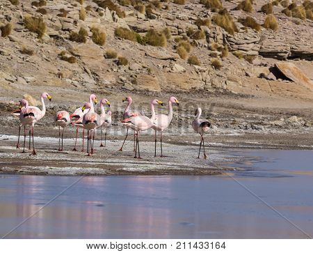 Flamingos on lake in Andes the southern part of Bolivia