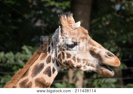 Side view of a giraffe's head with his mouth open