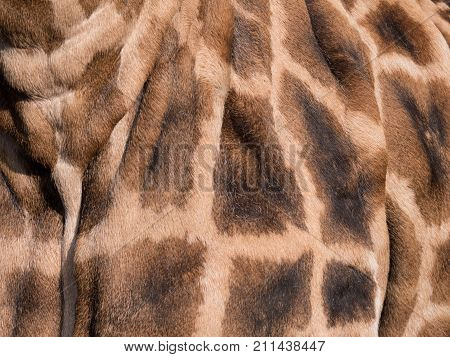 Close-up of a giraffe's spotted skin pattern