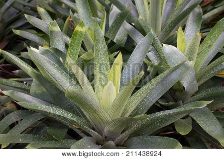 Bromelia humilis is a Bromeliad. Close photo of Bromelia plants and ficus. Anchient plant.