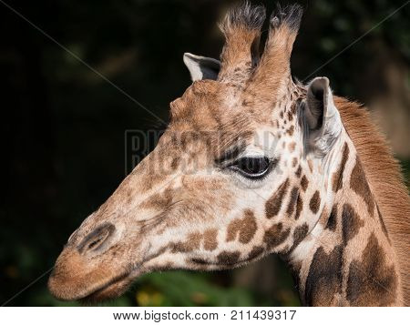 Close side view of a giraffe's head