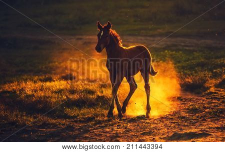 A young brown foal running on the field raising the dust on the background of sunset.
