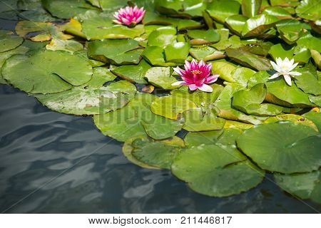Water lily flowers with green leaves in pond. Lotus blossom on lake surface on sunny day. Buddhism meditation zen. Summer bloom nature beauty. Purity rebirth divinity concept.