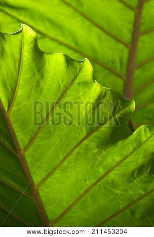 Elephant ears, or Colocasia esculenta is a tropical plant grown primarily for its edible corms, the root vegetables most commonly known as taro.