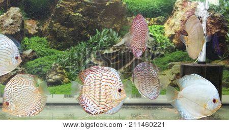 Beautiful Freshwater Aquarium With Discus Fishes