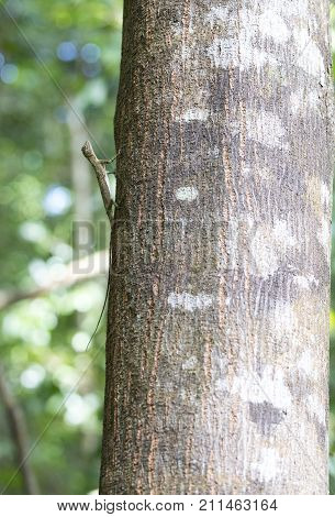 Flying lizard at Tangkoko national park Sulawesi Indonesia