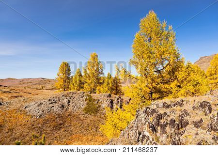 Fall in Mountains. Yellow Larch on Stones. Altai. Siberia.