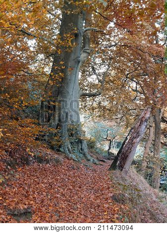forest pathway in autumn with large beech tree golden brown fallen leaves