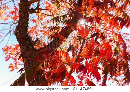 Tree With Red Leaves in the Fall Season With Blue Sky and Sunlight in the Background