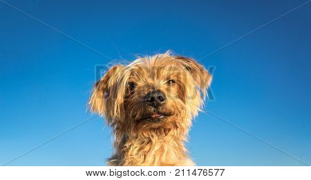 funny dog isolated blue background copy space, portrait of dog peeking from below. doggie with curiosity expression. Hey what's up dog brown Yorkshire Terrier dog.