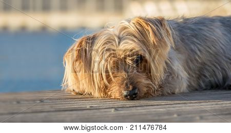 dog resting. Doggy with curiosity expression doggie. Yorkshire Terrier brown dog warm in the sun. Blurry background of a harbor and the sea