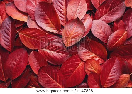 Closeup of Red Aronia Autumn leaves background texture. Red Autumn Leaves Background. Aronia melanocarpa (Chokeberry) autumn leaves.