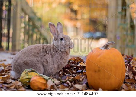 Beautiful tan and rufous domestic bunny rabbit munches on fresh leaves in the fall