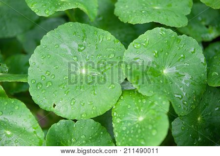 Asiatic Pennywort in traditional medicine.green nature background.