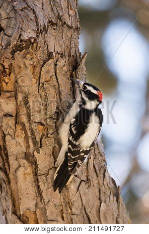 Male Downy Woodpecker perched on a tree searching for insects. He is photographed in profile facing left. Shallow depth of field.
