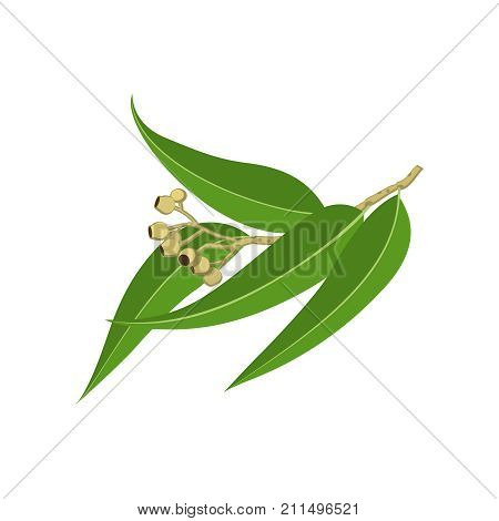 Eucalyptus branch with leaves. Vector illustration cartoon flat icon isolated on white.