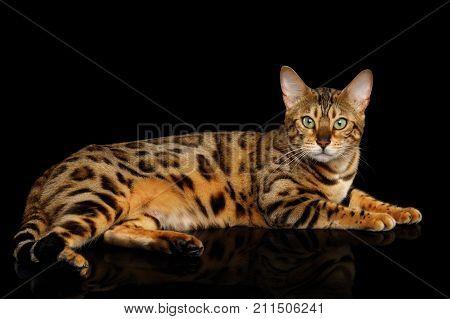Gold Bengal Cat Lying on isolated Black Background