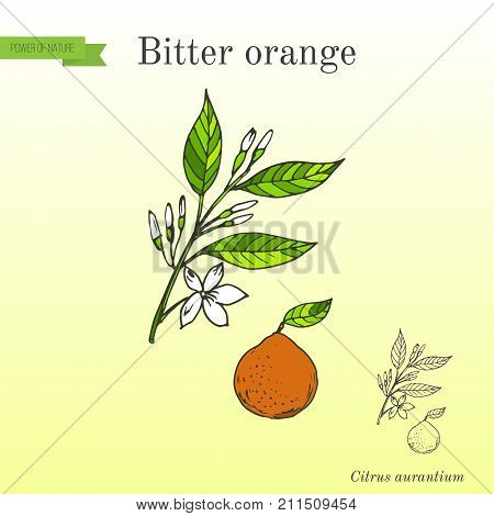 Bitter orange, Seville orange, sour orange, bigarade orange, or marmalade orange, twig with flowers. Hand drawn botanical vector illustration poster