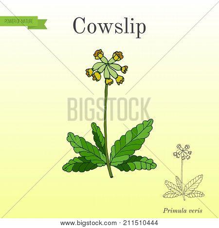 Primula veris common cowslip , medicinal plant. Vector illustration