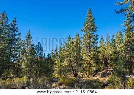 Pine Forest In San Gabriels