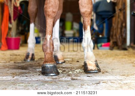 Red horse hoof standing in stable. Indoors colored horizontal image. Low point of view.