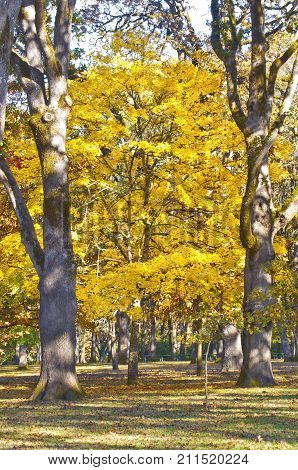 Yellow Maple Tree in autumn between to sentinel trees/