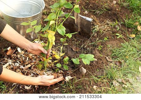 gardener prepares the soil for a young fruit seedling in the garden / mulching soil with sawdust poster