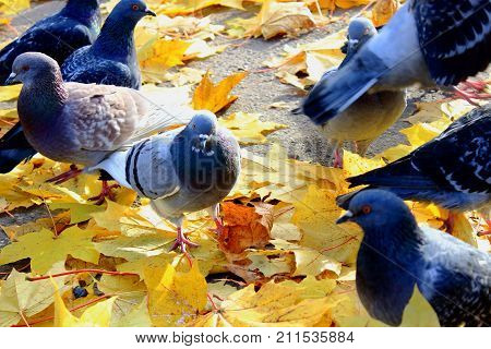 Birds pigeons in autumn Park. Feed the pigeons. To feed the flock of birds pigeons. Doves on the pavement in Autumn in the city. Golden autumn in the city. Walk in autumn Park. Dry yellow maple leaves