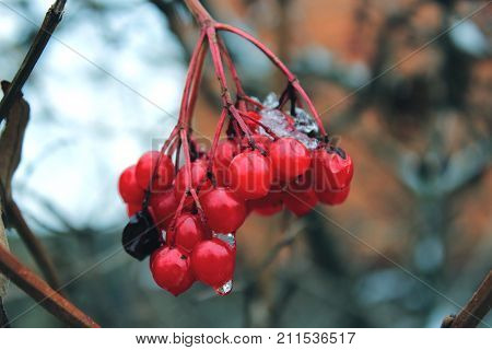 Red berries on a branch. Ice berries. Red berries in the snow. Viburnum berries on a branch. Water drops on berries. Icicles on the branches. Winter forest