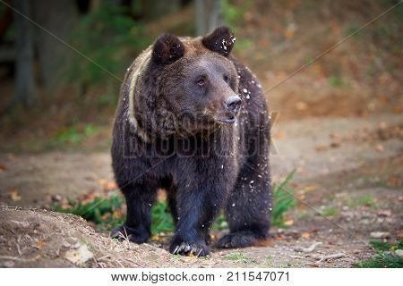 European Brown Bear In A Forest Landscape At Autumn. Big Brown Bear In Forest.