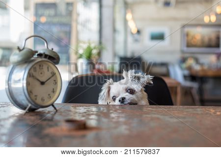 Sweet Dog Look Something In Coffee Shop With Clock