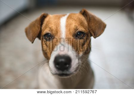 portrait of a dog jack russel terier