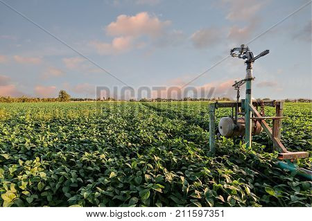Sprinkler irrigation system in a soybean field at sunset.