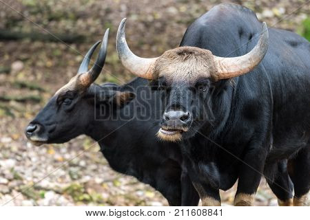 Wild Gaur. Gaur is a bovine native to South Asia and Southeast Asia.
