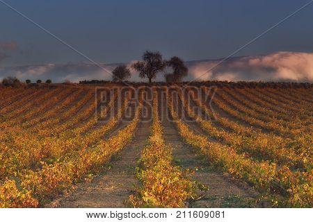 Vineyard in rows in autumn in Najera La Rioja