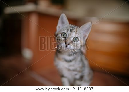 European cat portrait. Portrait of beautiful cat. Cute three color cat. European short haired cat. Portrait of tricolor kitten. Cute cat.