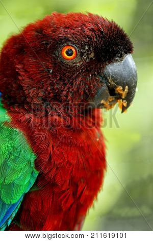 Red-breasted Musk-parrot (prosopeia Tabuensis Tabuensis)