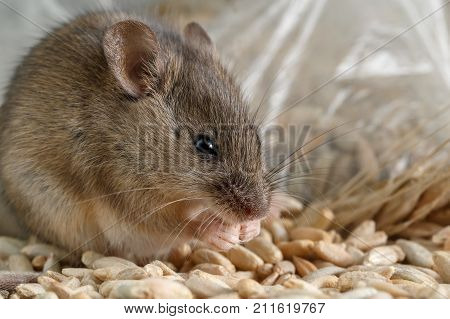 Closeup small mouse gnaws the a grain of rye near of package of grain  inside storehouse. Fight with rodents.