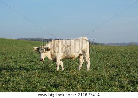 white cow walking on the green pasture