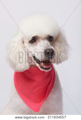 One smiling white poodle dog portrait isolated on white background. Gead of groomed poodle