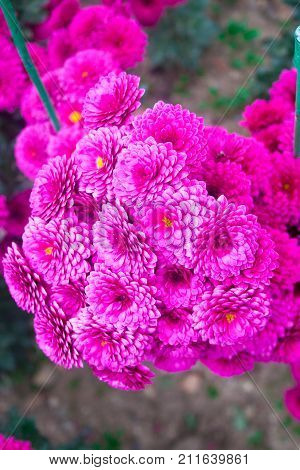 Beautiful lilac pink chrysanthemum as background picture. Chrysanthemum wallpaper, chrysanthemums in autumn.