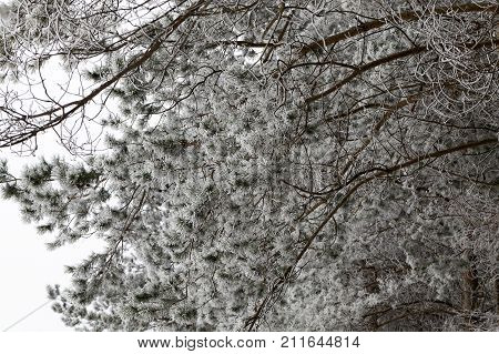 white prickly frost on branches and needles of coniferous tree - pine, photo close-up in winter. focus on front branches, backdrop not in focus, cloudy weather