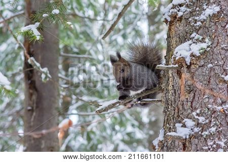 Squirrel sits on bough of old fir in winter forest
