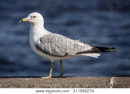 A seagull standing on a concrete wall in Duluth Minnesota.