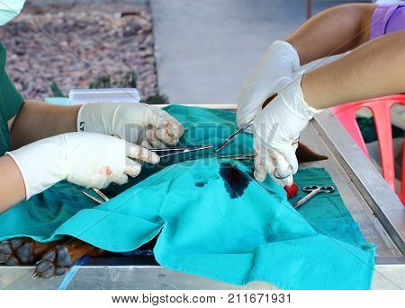Sterilization of dog by veterinarian. Animal contraception