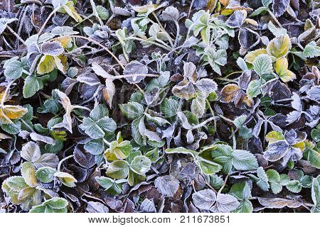 Close up on frosty colorful strawberry leaves. Colorful plants after a cold night. Frosty, icy surface on the plants.